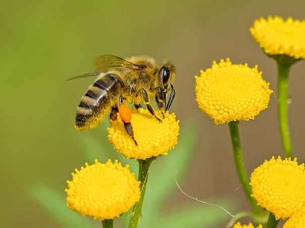 animal bee bloom blooming